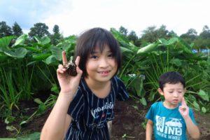 イカリ芋(サトイモ早採り)収穫始めました 北地区 自然共生園