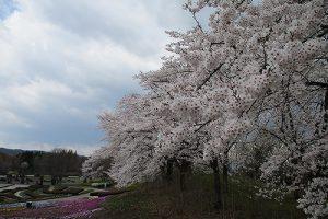 4月19日(金) サクラ開花・お花情報