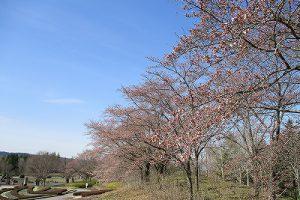 4月14日(日) サクラ開花情報