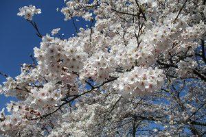 4月18日(木) サクラ開花情報