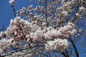 4月16日(火) サクラ開花・お花情報
