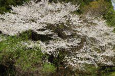 5月2日(木)花情報(里山地区)