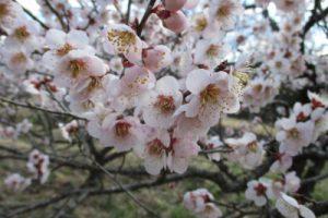 3月25日(水) お花情報(南・北地区)
